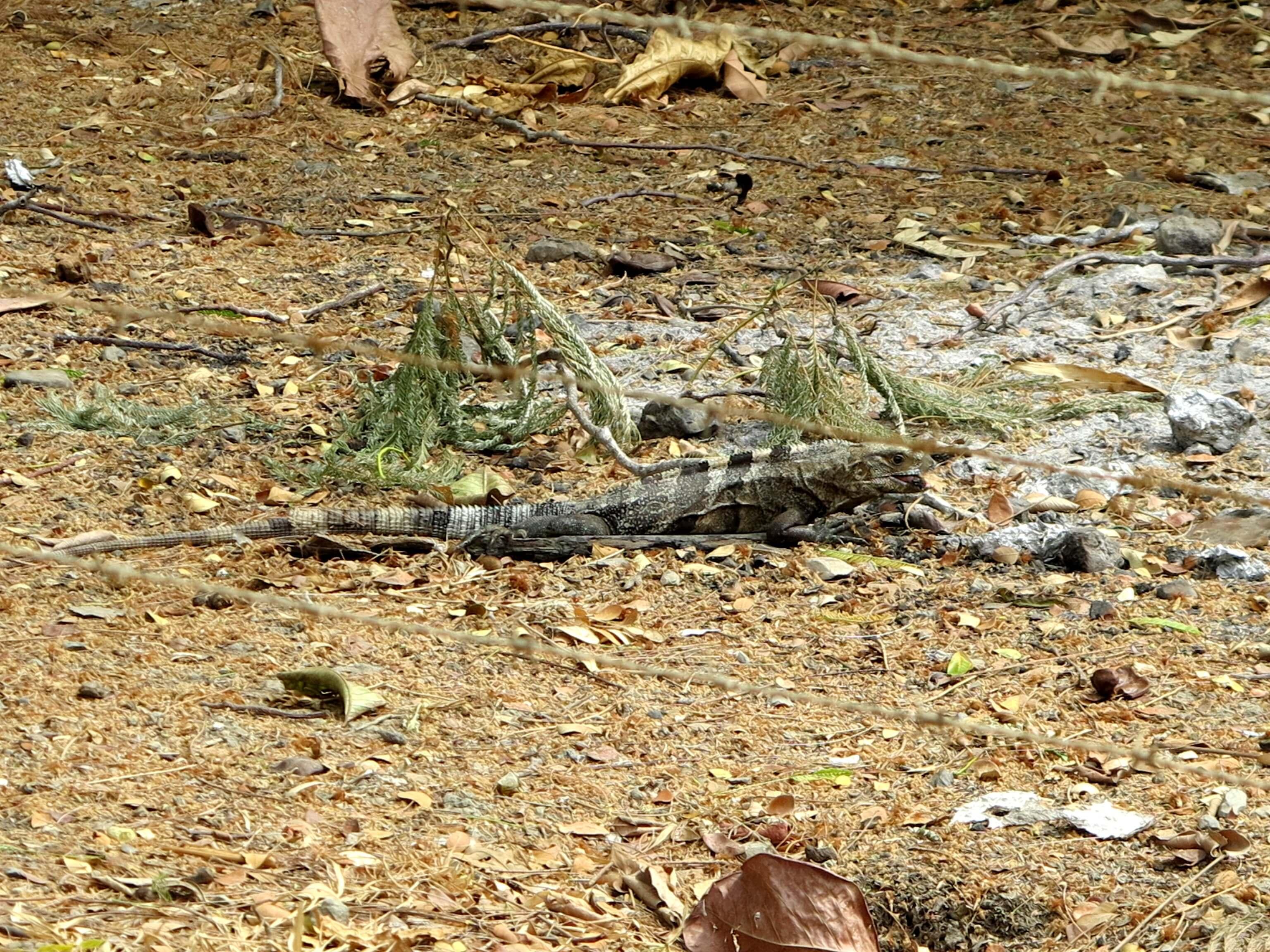 Die Leguane hatten zum Glück mehr Angst vor uns