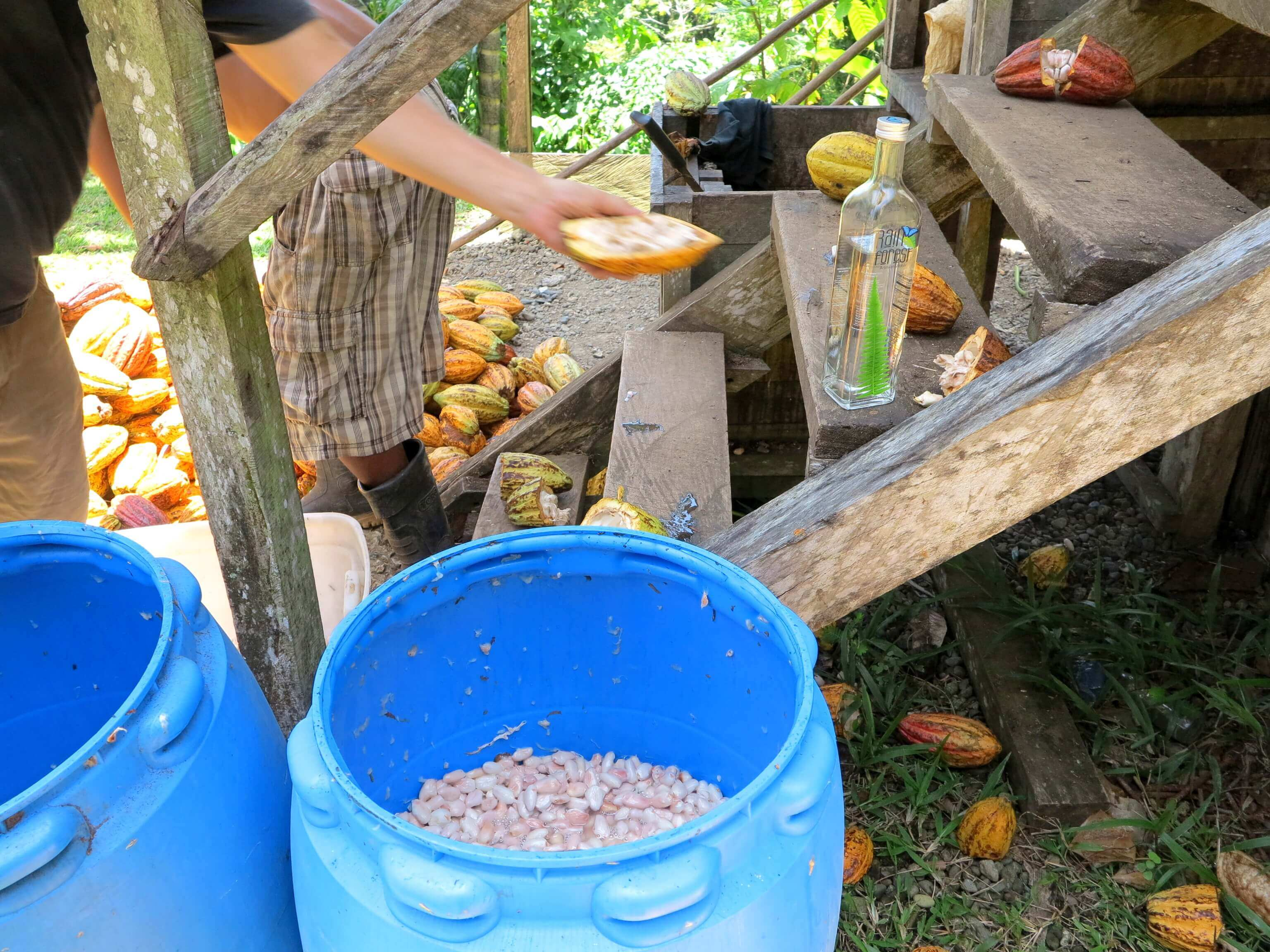 Kakaobohnen mit Fruchtfleisch