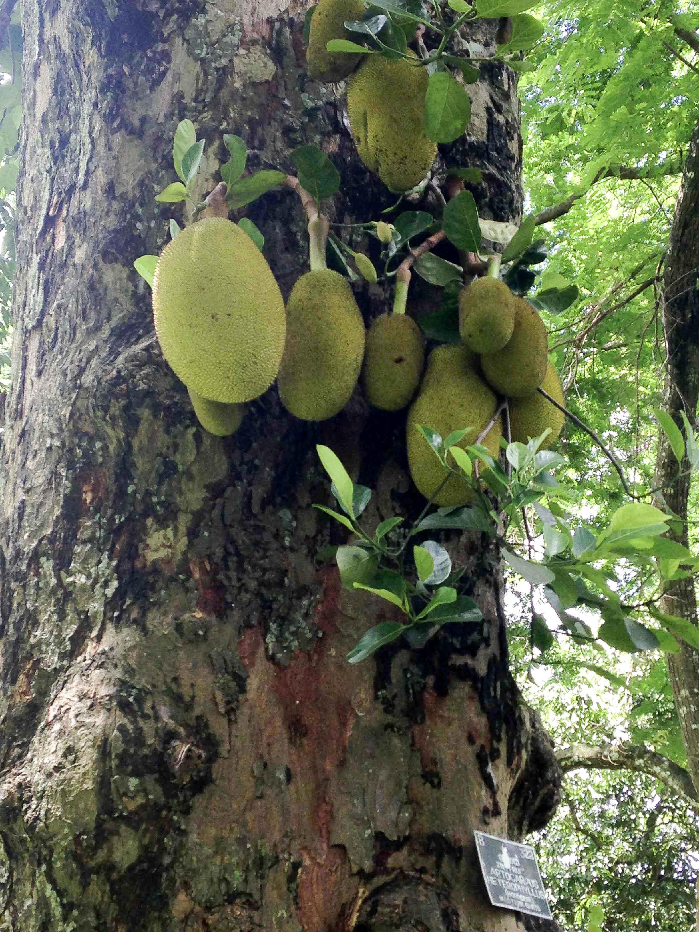 Jackfruits - leider nicht probiert :(